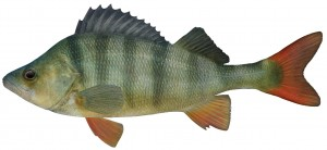 Redfin (English perch)