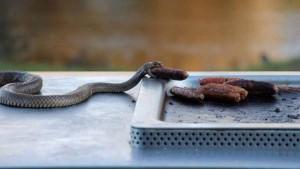 Sausage eating snake mystery