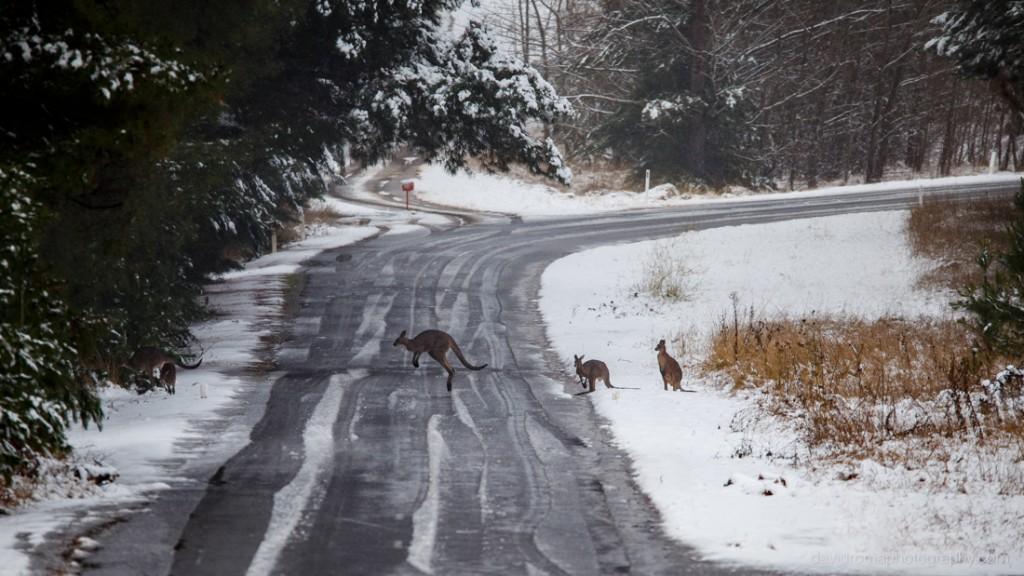 Kangaroos making a break for it