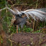 Superb Lyrebird Ask Roz