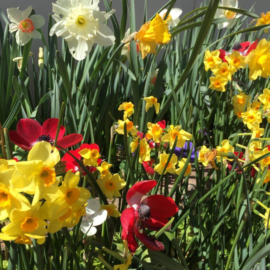 Daffodils at Rydal