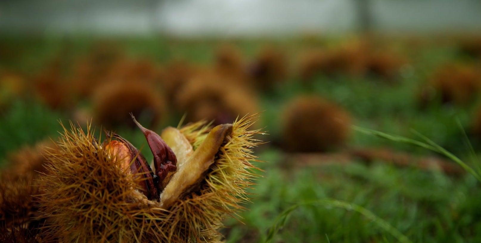 Nutwood Farm - Chestnuts and Walnuts