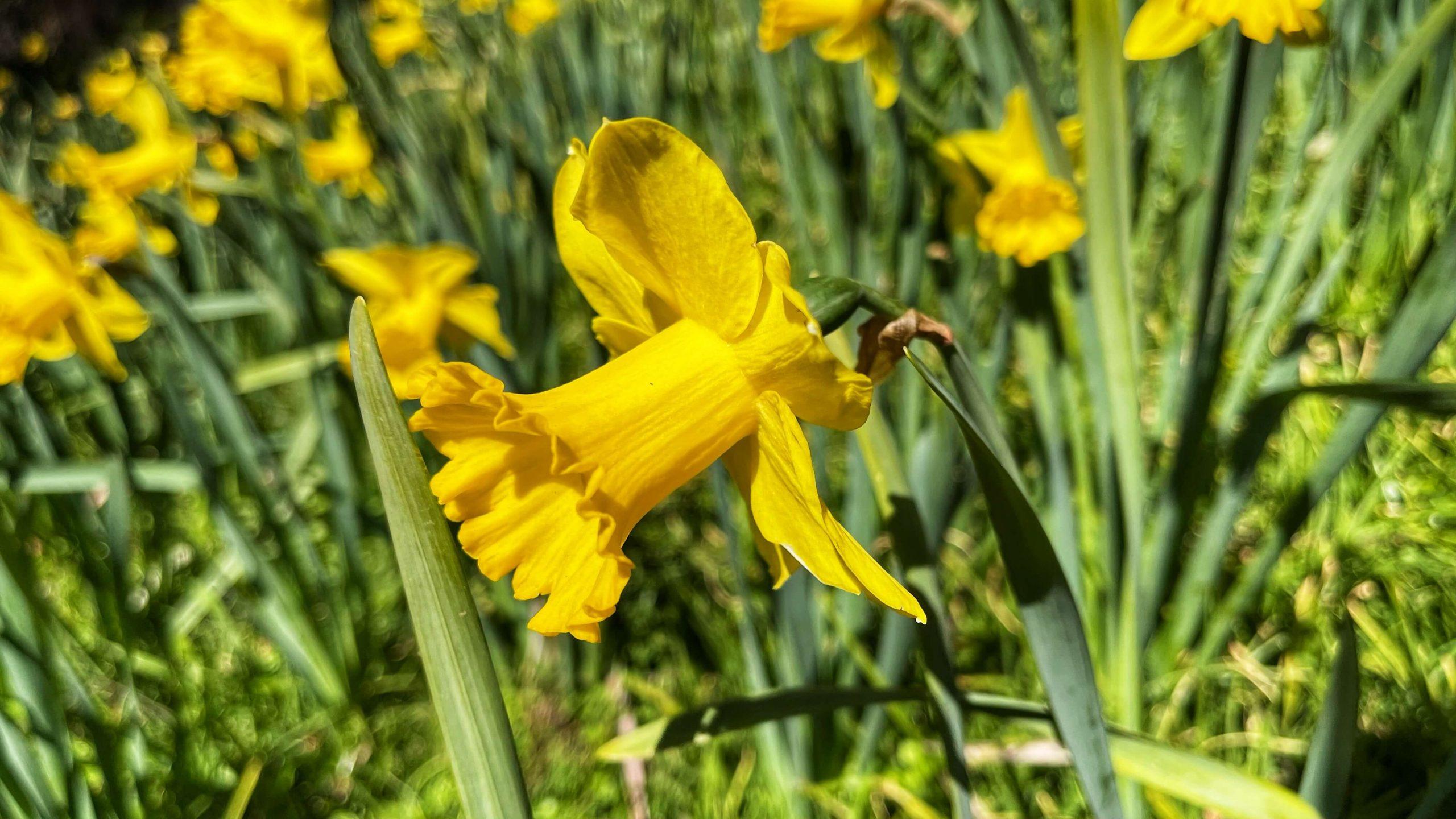Daffodils at Blue Mountains Botanic Gardens